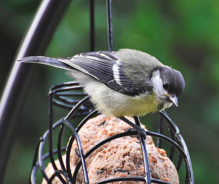oiseau boule de graisse