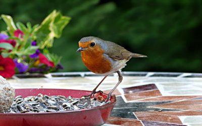 Bien nourrir les oiseaux du jardin