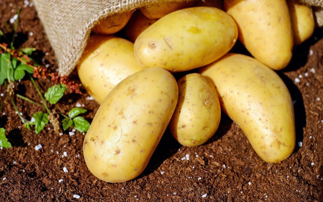 plants pommes de terre astaffort brico M