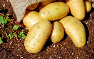 Les plants de pommes de terre sont arrivés chez Brico M !